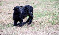 The Dream of the Black Lamb