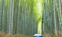 Working in a bamboo forest