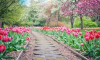Strolling Through the Tulips