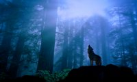 Lonely wolf in night forest