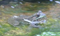Frogs and Crickets in a Pond
