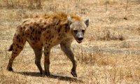 Tribal Hyena