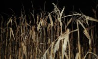 Uh Oh, Something Scary is in the Corn