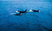 Orcas and Dolphins swimming through the sea