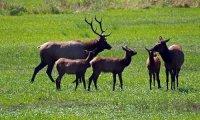 Meadow populated by elk