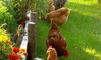 Marinette's backyard chicken coop.