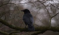 Ravens in Late Autumn Forest