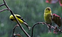Despite the rain, birds are singing